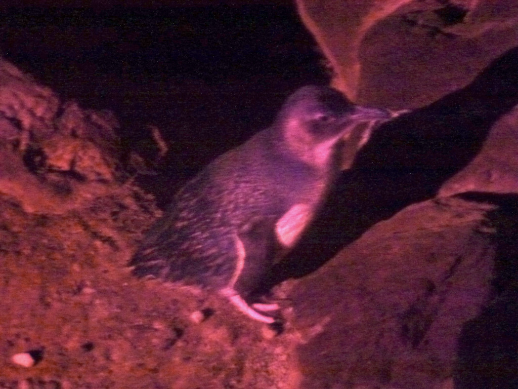 Pinguine St Kilda Melbourne Tipps