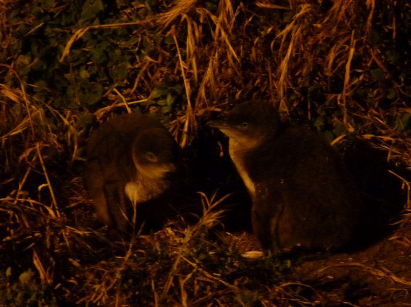 Pinguinparade Phillip Island
