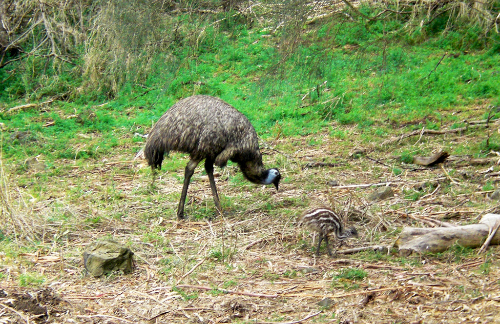 Tower Hill Reserve Emu
