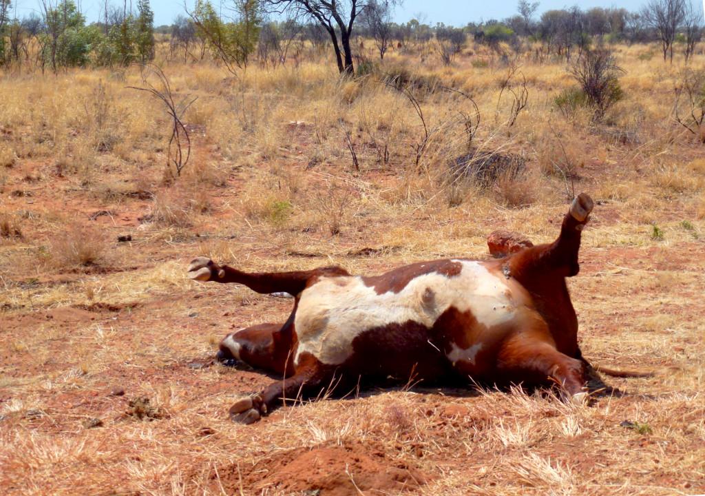 Wildunfall Outback Australien